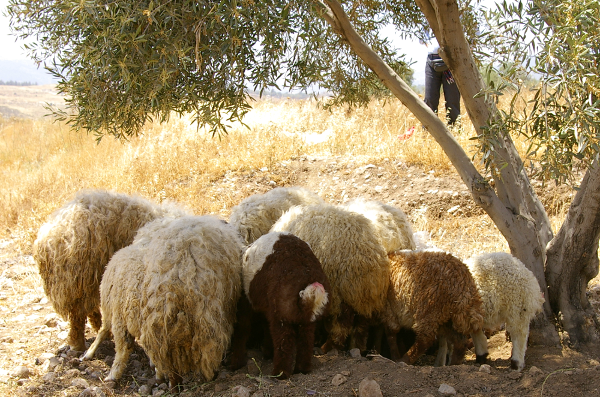 Sheep under an olive tree near the site of Tell Abu Suwwan in northern Jordan.